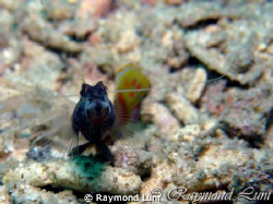This Shrimp Goby was waiting for his photo shoots one aft... by Raymond Lum 